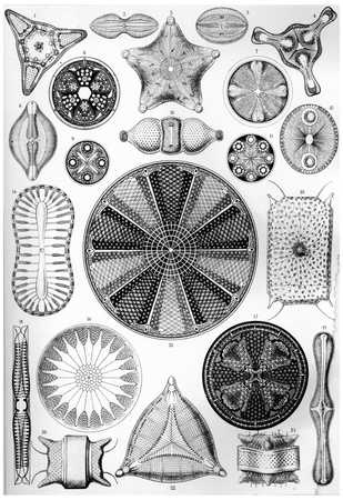 Diatomea Nature Art Poster by Ernst Haeckel Poster