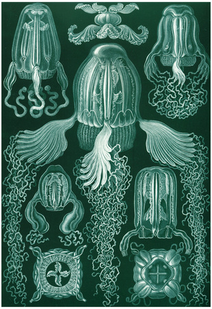 Cubomedusae Nature Art Print Poster by Ernst Haeckel Posters!
