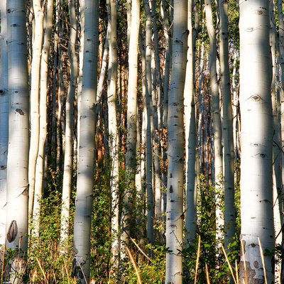 Aspen Grove I Prints by Kathy Mansfield