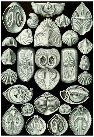 Spirobranchia Nature Art Print Poster by Ernst Haeckel Prints