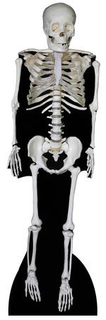 Esqueleto Figura de cartón
