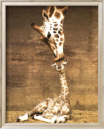 Giraffe, First Kiss Print by Ron D'Raine