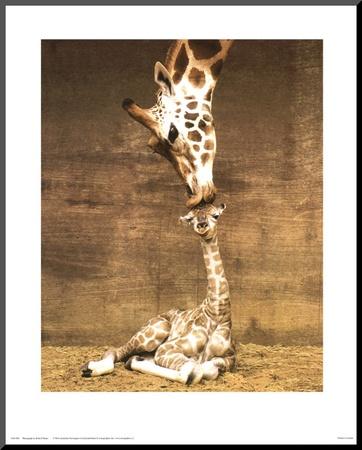Giraffe, First Kiss Mounted Print by Ron D'Raine