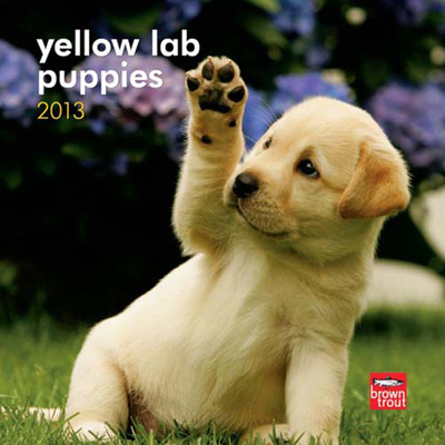 Mini Yellow Lab Puppies