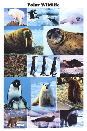 Laminated Polar Wildlife Educational Animal Chart Poster Posters