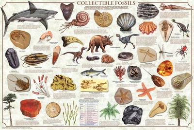 Collectible Fossils Prehistoric Educational Science Chart Poster Poster