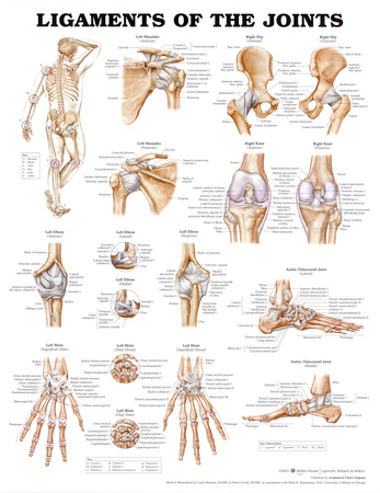 Ligaments of the Joints Anatomical Chart Poster Print Prints