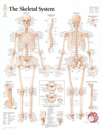 Laminated The Skeletal System Chart Poster Posters
