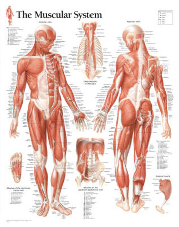 Laminated Muscular System Male Educational Chart Poster Prints