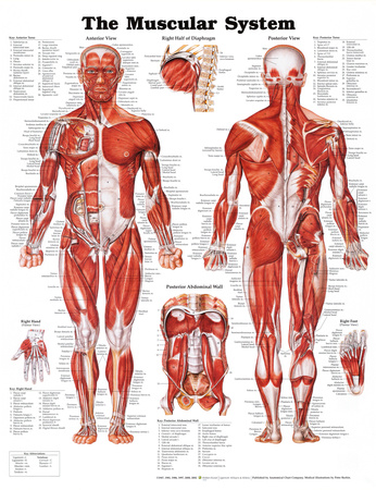 Muscle anatomy biology poster for classrooms