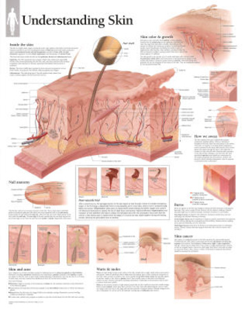 Understanding Skin Educational Chart Poster Photo