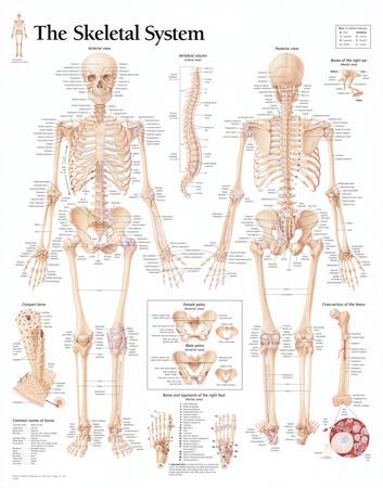 The Skeletal System Chart Poster Prints