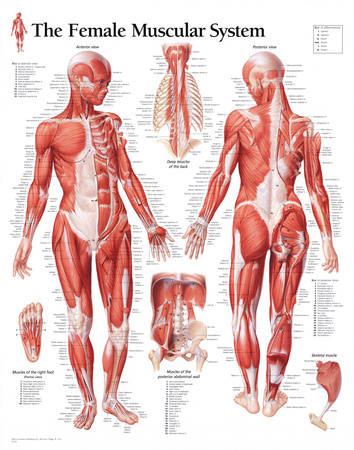 Muscular System Female Educational Chart Poster Pósters