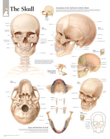 Laminated The Human Skull Educational Chart Poster Posters