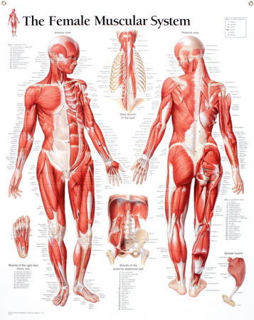 Laminated Muscular System Female Educational Chart Poster Pósters