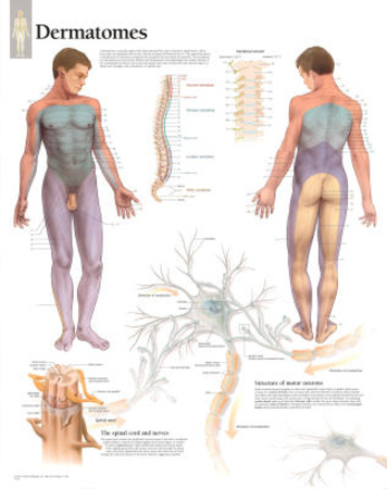 Understanding Dermatomes Educational Chart Poster Posters
