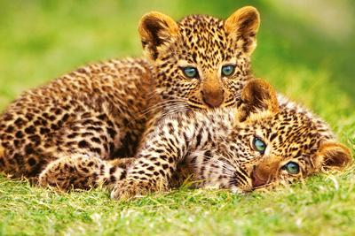 Cheetah Cubs in Grass Art Print Poster Prints