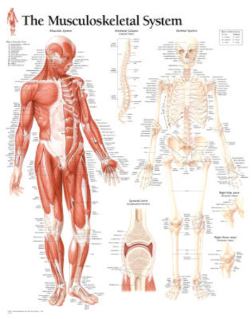 Laminated Musculoskeletal System Educational Chart Poster Posters