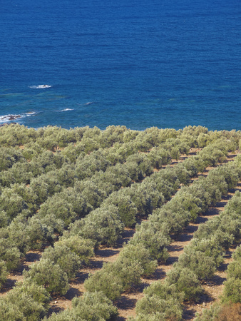 Olive Groves, Chania, Crete, Greek Islands, Greece, Europe Photographic Print by Sakis Papadopoulos
