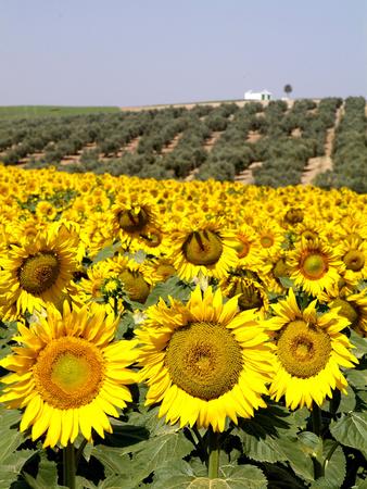 Sunflower Field Near Cordoba, Andalusia, Spain, Europe Photographic Print by Hans-Peter Merten
