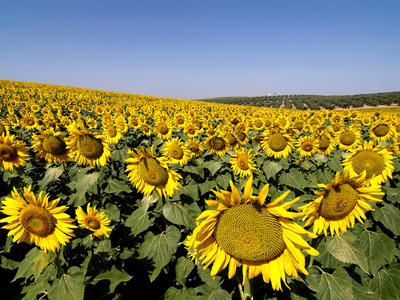 Sunflower Field Near Cordoba, Andalusia, Spain, Europe Fotoprint av Hans-Peter Merten