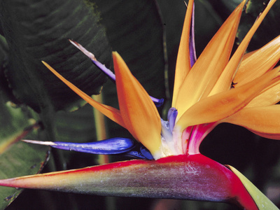 Bird of Paradise, Maui, Hawaii, USA Photographic Print by Julie Eggers