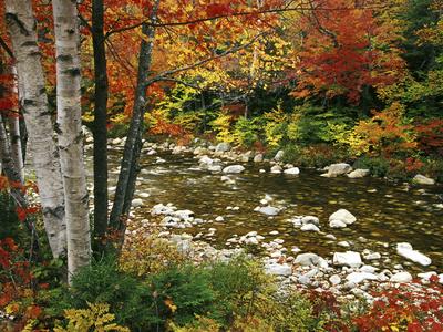 Swift River mit Eschen und Ahornbäumen in den White Mountains, New Hampshire, USA Fotografie-Druck von Darrell Gulin