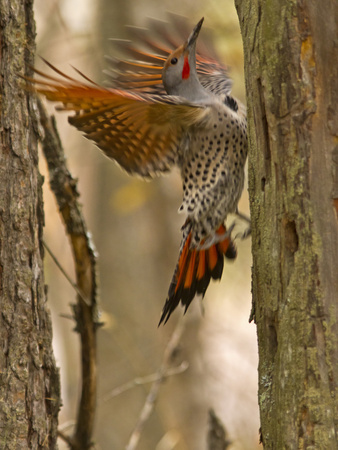 Northern Flicker Searching for Food in Old Tree Trunk in Whitefish, Montana, Usa Photographic Print by Chuck Haney