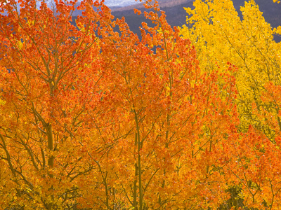 Quaking Aspens in Beautiful Bright Fall Colors Photographic Print by John Eastcott & Yva Momatiuk