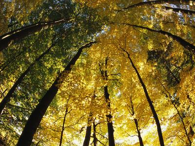 Sugar Maple Trees Display Autumn Foliage Photographic Print by John Eastcott & Yva Momatiuk