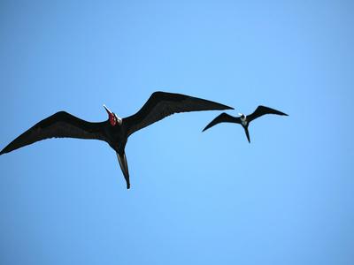 Ecuador, Galapagos, a Male and Female Frigate Bird Soar Overhead Fotografie-Druck von Niels Van Gijn