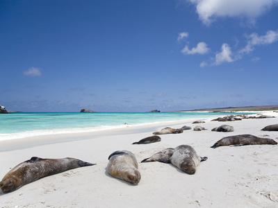Ecuador, Galapagos, Sunbathing Sea Lions on the Stunning Beaches of San Cristobal, Galapagos Fotografie-Druck von Niels Van Gijn