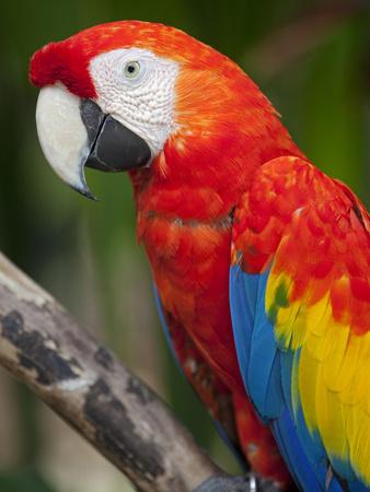 Bali, Ubud, a Greenwing Macaw Poses at Bali Bird Park Fotografie-Druck von Niels Van Gijn