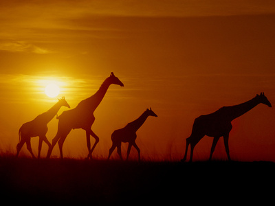 Giraffes running across the fields at Okavango Delta, Botswana, Africa