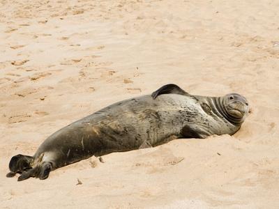 Hawaiian Monk Seal, Monachus Schauinslandi, on the Beach Photographic Print by Hal Beral
