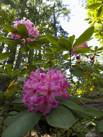 California Rhododendron, Rhododendron Macrophyllum, Kruse Rhododendron Reserve Photographic Print by Gerald & Buff Corsi