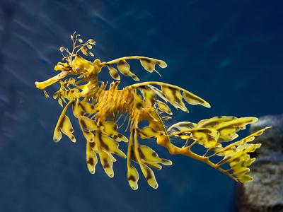 Leafy Sea Dragon (Phycodurus Eques), Australia Photographic Print by Buff & Gerald Corsi
