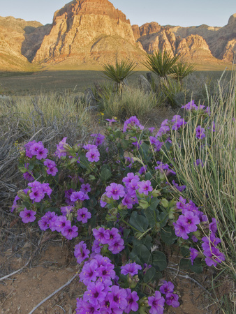 Four O'Clock (Mirabilis Multiflora) Blooming with Mojave Yucca (Yucca Schidigera) Photographic Print by Stephen Ingram