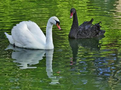 Mute Swan and Australian Mute Swan Photographic Print by Adam Jones