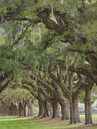 Stately Live Oak Trees Draped in Spanish Moss, Boone Hall Plantation, Mount Pleasant Photographic Print by Adam Jones