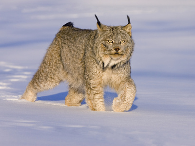 Eurasian Lynx (Lynx Lynx) Walking in the Snow Photographic Print by Jack Milchanowski