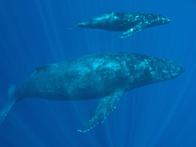 Humpback Whale (Megaptera Novaeangliae) Mother and Calf, Pacific Ocean Photographic Print by Marty Snyderman