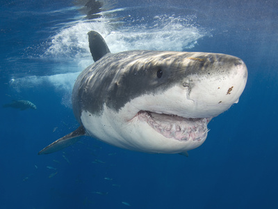 Great White Shark (Carcharodon Carcharias), Guadalupe Island, Mexico, Eastern Pacific Ocean Photographic Print by Andy Murch