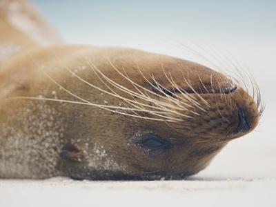 Galapagos Sea Lion Head Upside Down While Resting on a Beach, Zalophus Californianus Photographic Print by Arthur Morris