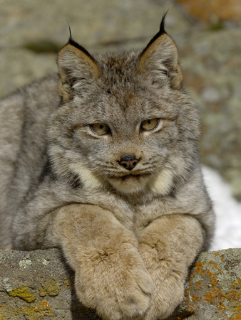 Canadian Lynx (Lynx Canadensis) Sitting on a Rock, USA Photographic Print by Dave Watts