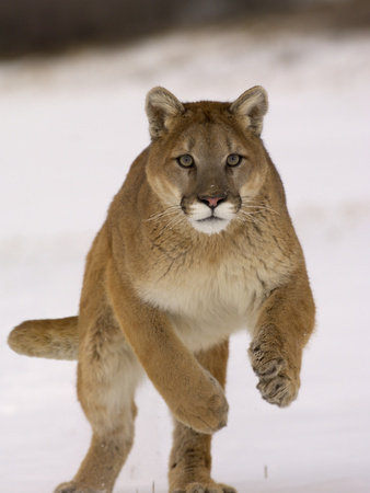Cougar (Felis Concolor) Running in Snow, USA Photographic Print by Dave Watts