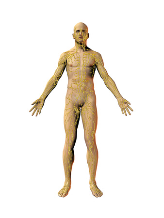 Human Male Figure Showing the Lymphatic System Photographic Print by Carol & Mike Werner