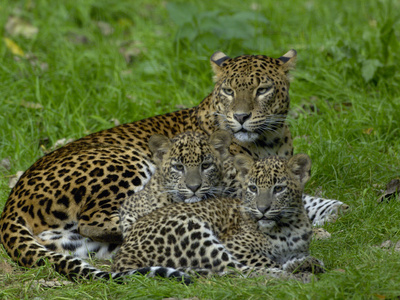 Sri Lankan Leopard (Panthera Pardus Kotiya) Mother with Cubs, Captive Photographic Print by Dave Watts