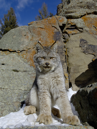 Canadian Lynx (Lynx Canadensis) on a Snowy Rock, USA Photographic Print by Dave Watts
