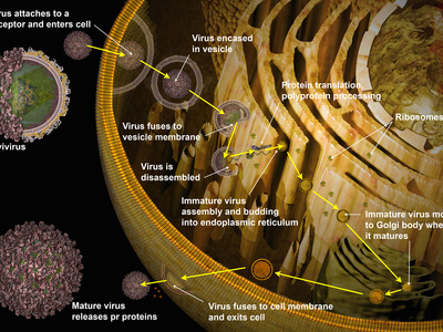 Illustration of Replication of Flavivirus in Host Cell Photographic Print by Carol & Mike Werner